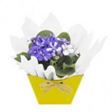 Vaso de flor violeta OU kalanchoê